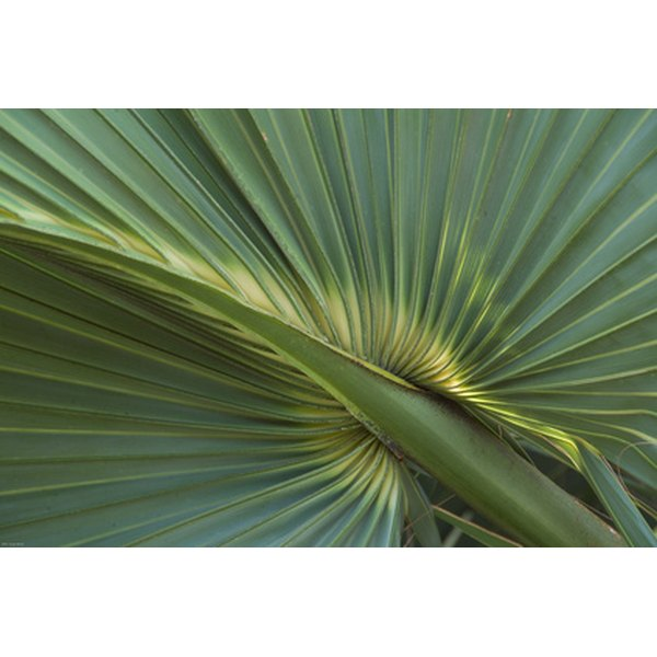 Close up of Saw palmetto.