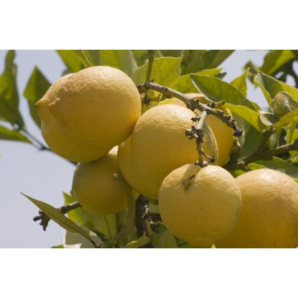 Lemon Essential Oil is Used to Treat Warts