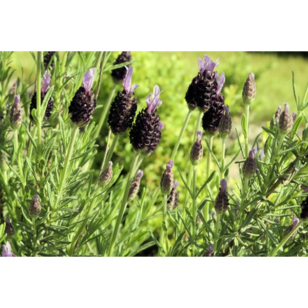 Lavender oil helps treat sore throats.