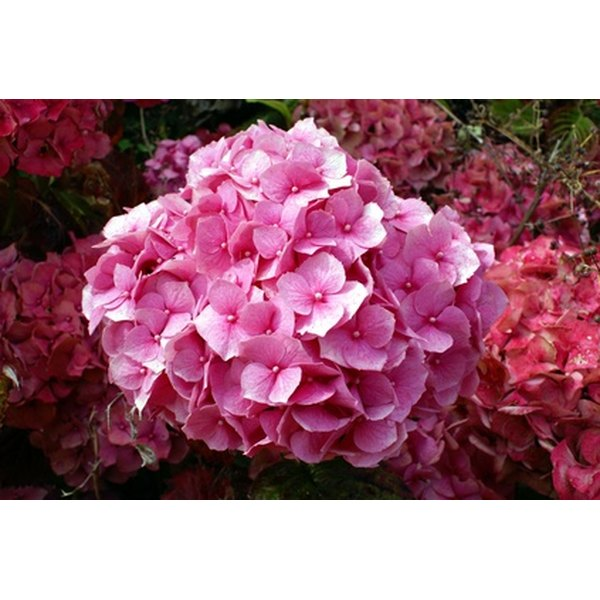 The root of the hydrangea plant has been used medicinally by the Chinese and Native Americans for centuries.