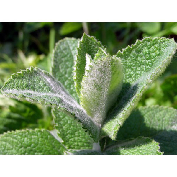 There are many varieties of the mint plant.