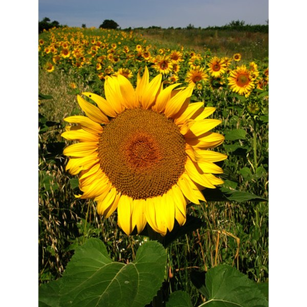 A select group of herbicides are available for controlling weeds in sunflower plantings.