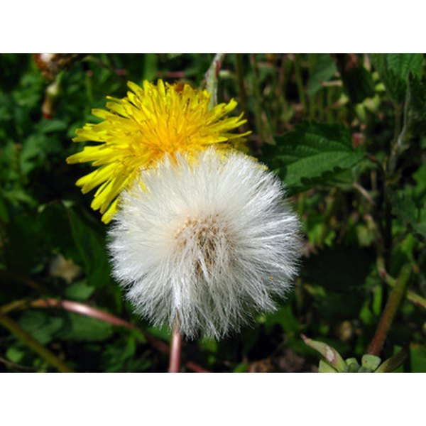 The dandelion has a reputation for being an unwanted weed, but it's useful as a medicinal herb.