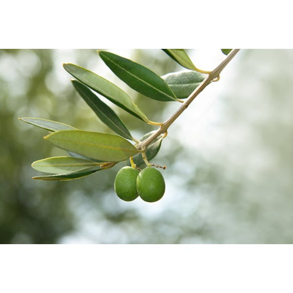 An olive leaf oil can have many different benefits.