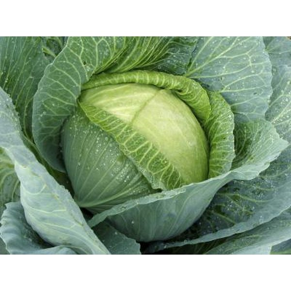 Cabbage is a nutritious food that provides several essential vitamins.
