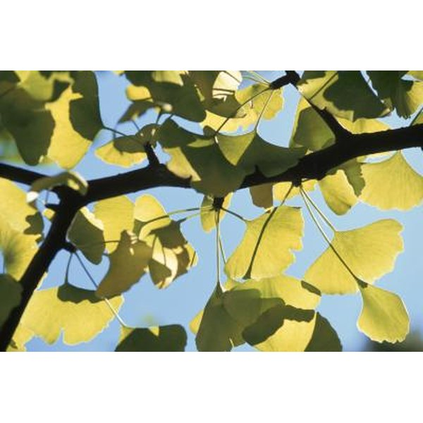 Ginkgo biloba leaf extracts are used in herbal supplements to aid memory and concentration.