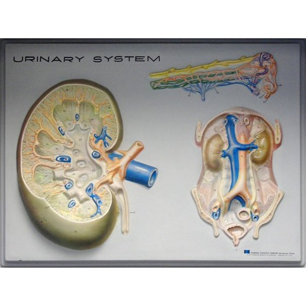 Structure of the kidneys and urinary system