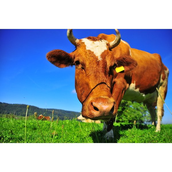 Cows are the source of bovine collagen.