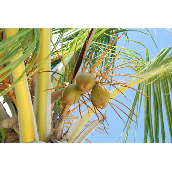 Coconuts are one of four known alkaline-forming nuts.