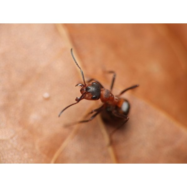 Ant oil is a traditional hair removal treatment.