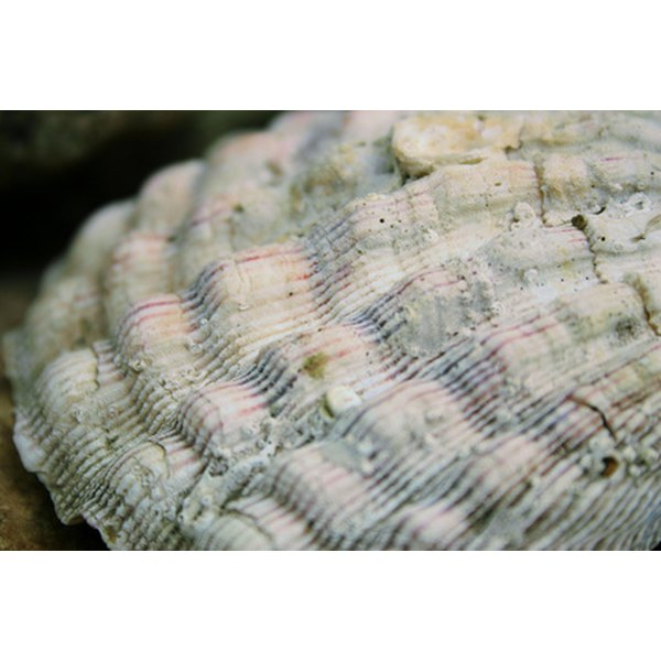 The interior oyster shell, known as mother-of-pearl, makes for beautiful buttons.