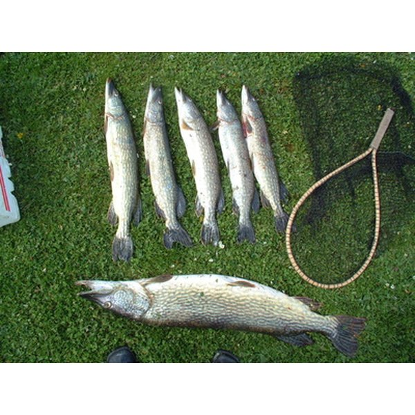 Cod fish are a type of white fish.