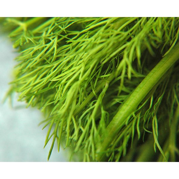 Dill weed is one of several classic Russian spices.