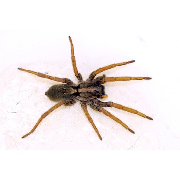 Only a few poisonous spiders live in homes.