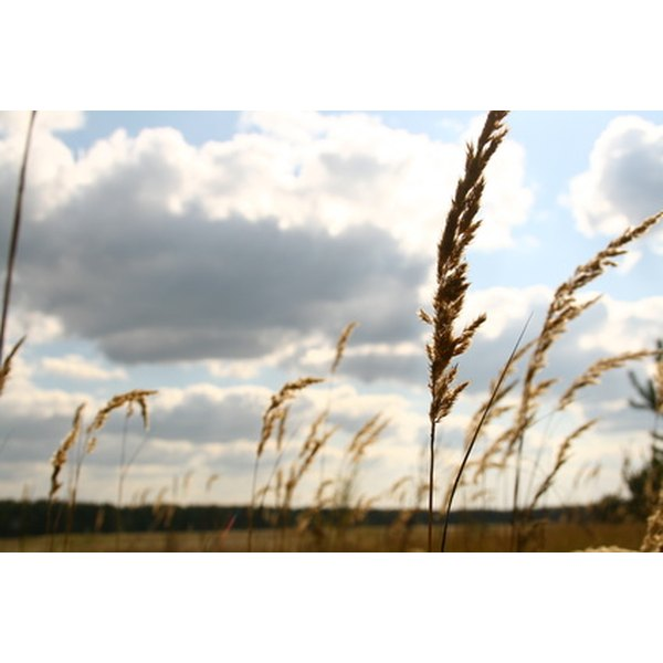 There are six basic varieties of wheat grown in America and five of them fall in the red or white class.