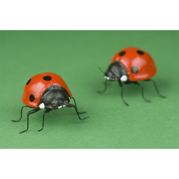 Ladybugs are a biological control agent for aphids.