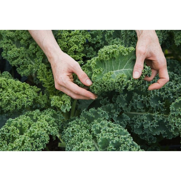 Kale is high in calcium, which will help one to maintain a healthy weight.