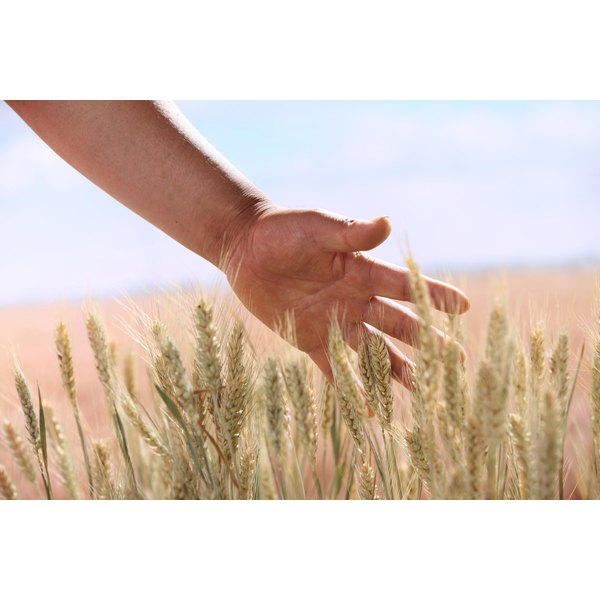 Close-up of a hand running along a wheat field.