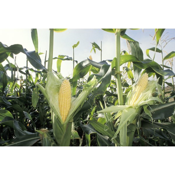 Corn kernels are the source of corn starch.