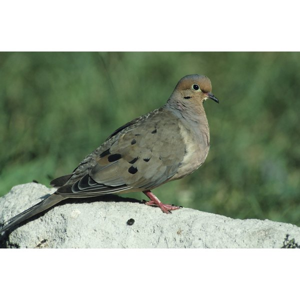 A dove's tender meat makes it a popular game bird.