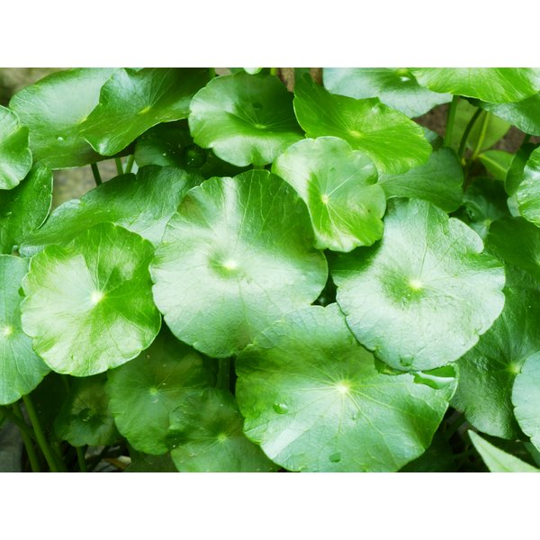 Lush green leaves of the gotu kola plant.