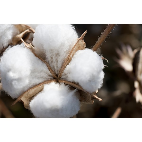 Cotton is a very useful plant.