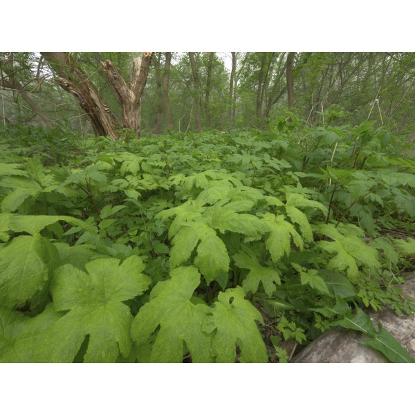 Goldenseal plants growing outside.