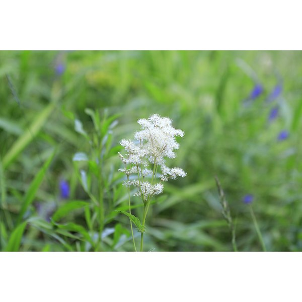 White flowers on the medicinal plant, meadowsweet, growing in a grassy field.