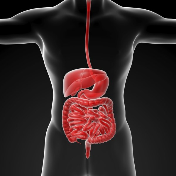 3D illustration of digestive system.