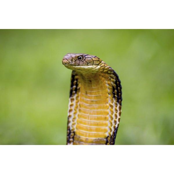 Symbolism Of The Cobra Synonym