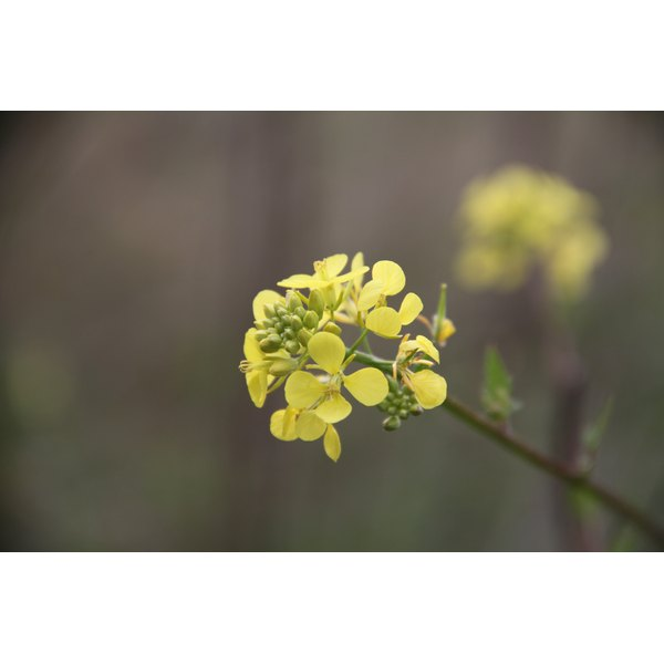 Canola blossom.