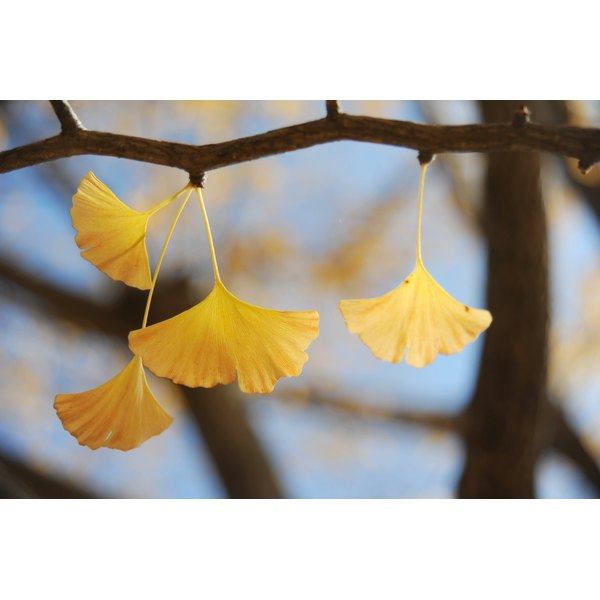 Ginko Biloba leaves on a branch which have turned to yellow for the fall season.