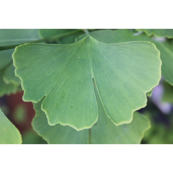 Ginkgo leaf extract may be of benefit in the treatment of glaucoma.
