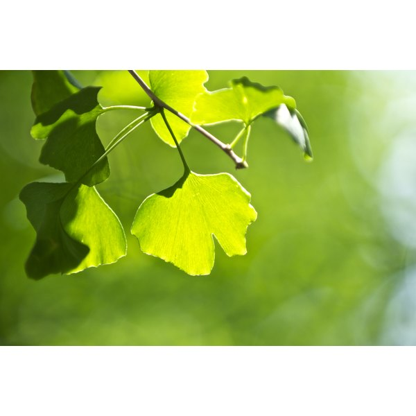 A close-up of gingko biloba leaves growing on a branch.