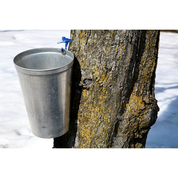 It takes just a few trees to make syrup for a small family.