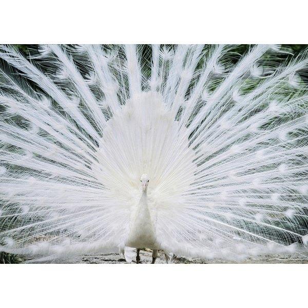 White Peacock Symbolism