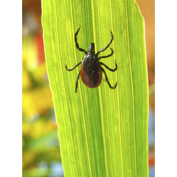 A tick rests on a blade of grass.
