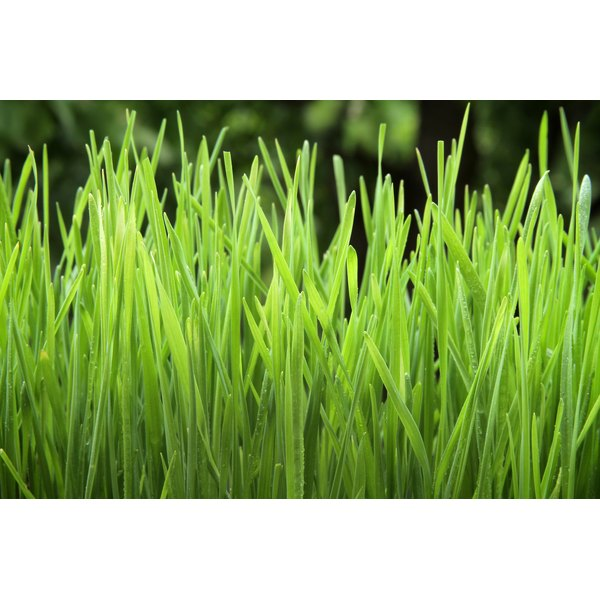 A close-up of wheatgrass growing in a tray.