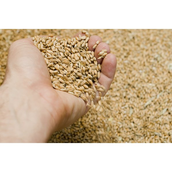 Close-up of a hand picking up a cluster of wheat berries