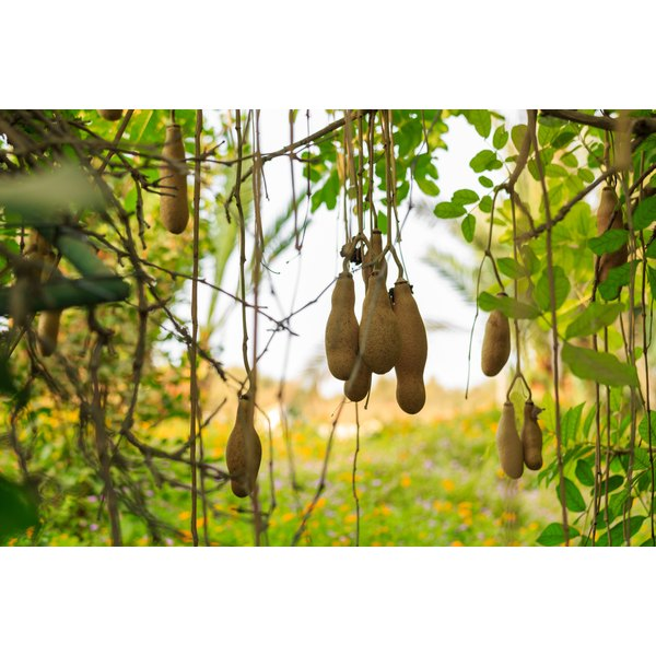 Fruit hanging from a kigelia tree.