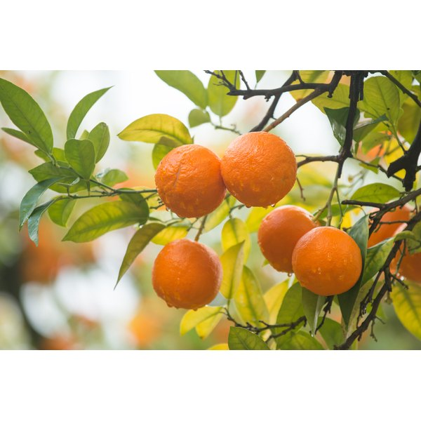 Tangerines growing on a tree.