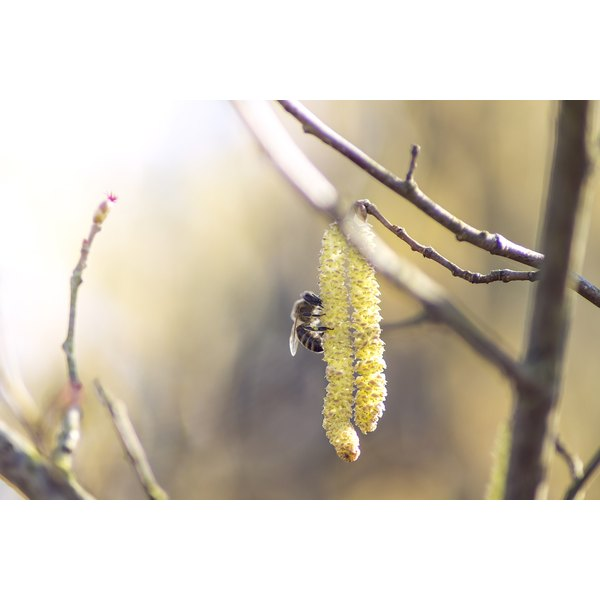 A bee sipping nectar from a Salix alba plant.