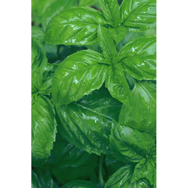 Recipes usually specify if you need to measure basil before or after it is cut into smaller pieces.