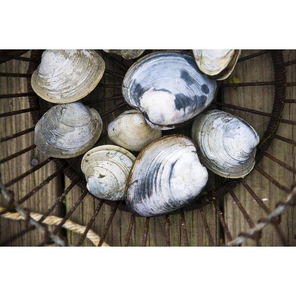 Quahog clams have hard outer shells.