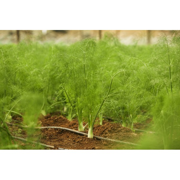 Fennel plants growing in soil.