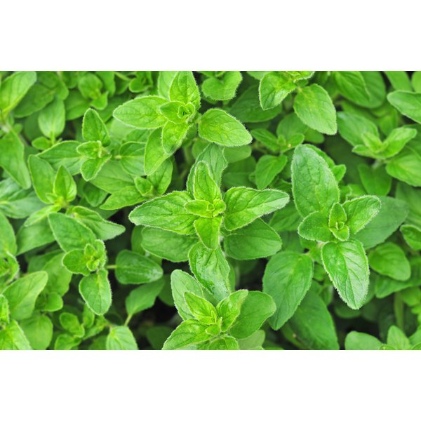 Oregano plants growing in a garden.