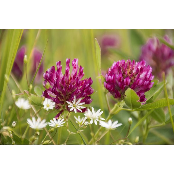Red clover or Trifolium Pratense in the meadow.