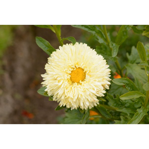 Calendula for perioral dermatitis.