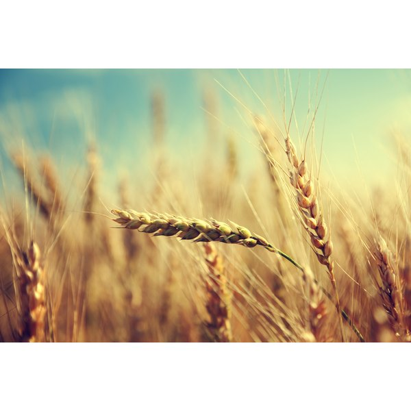 Gluten is the main protein found in wheat, and can trigger an allergic reaction in people who are sensitive to it.