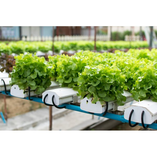 Lettuce growing at a hydroponic farm.